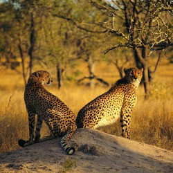 Cheetah on a termite mound